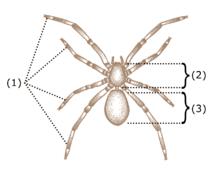 220px-Spider-characteristics