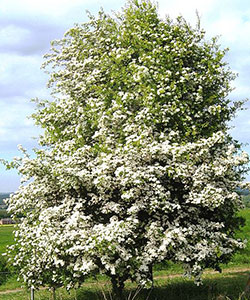 Aubepine_monogyne_arbre_2©Ptelea_WikimediaCommons_CC_BY_SA_3