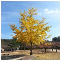 10282-ginkgo-biloba-arbre-aux-quarante-ecus-4
