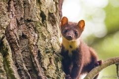 Martre des pins- Aurélien Eubel