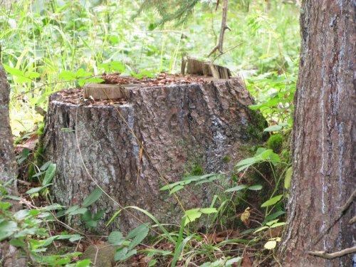 souche écureuil