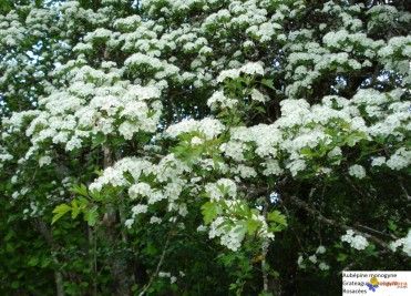 aubépine*monogyne-en-fleurs-jpg