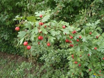 aubépine-en-fruits-jpg