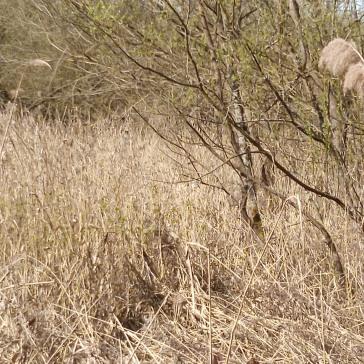 Roselière-en-hiver