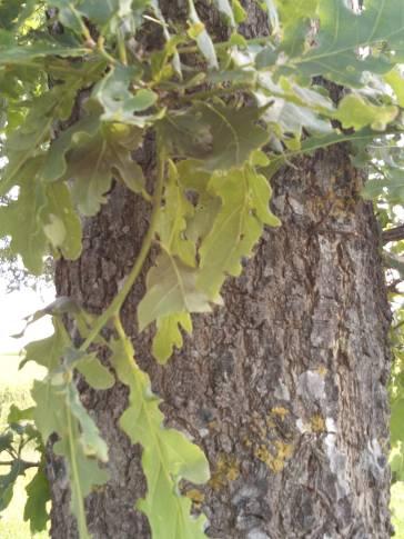 chêne-pubescent-feuilles-écorce-jpg