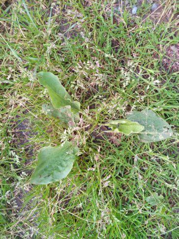 Plantain à feuilles rondes
