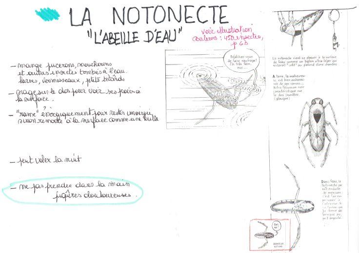 la notonecte