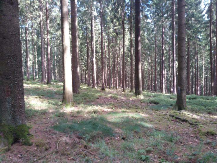 Des-forêts-d'épicéas. jpg