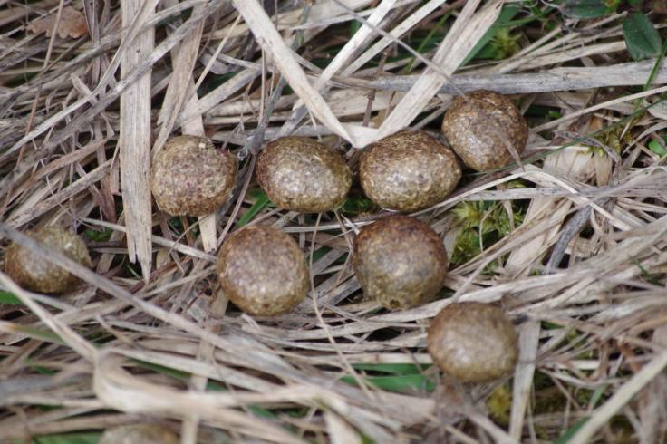 crottes de lièvre