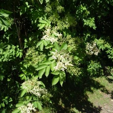 Les fleurs de sureau, base de la Fleur de Franchimont, vin du Terroir.