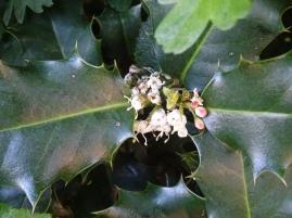 La fleur du houx