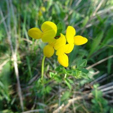 Fleurs du lotier corniculé