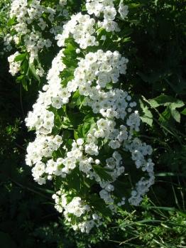 abondantes et odorantes fleurs de l'aubépine
