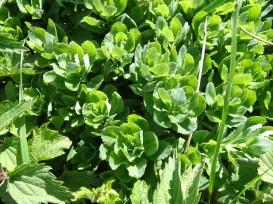 orpin (feuilles grasses)