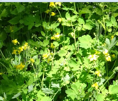 Chélidoine ou herbe aux verrues
