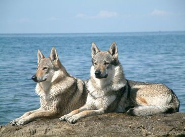 800px-Czechoslovakian_Wolfdog_pair
