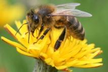 abeille sur pissenlit - ph. christophe gal