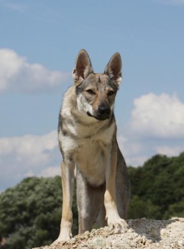 chien+loup de tchecoslovaquie