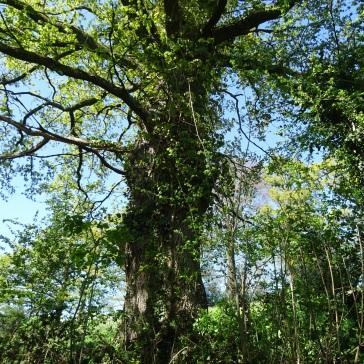 lierre envahissant un arbre