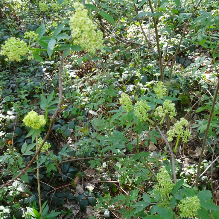 fleurs du sorbier