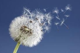 après que la fleur se soit fanée et refermée, elle s'ouvre à nouveau portant les graines