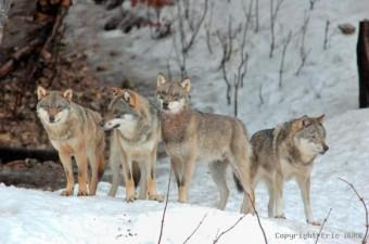 la meute de loups