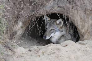 Wolf sleeping in a burrow