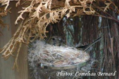nid de pinson du nord