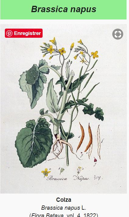 2020-06-19 10_57_32-Brassica napus — Wikipédia